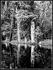 Cypresses mono (jhpen2) Tags: nature trees water reflection bw cypresses bnw tree landscape lake old blackandwhite