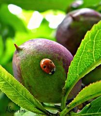 Joaninha 26 (#moliço) Tags: joaninha pêssego insecto