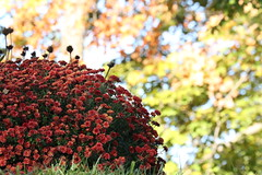 5Q7A2246 (smo2000) Tags: outdoor nature mum bokeh kansas red bloom fall canon 7d mkii yard