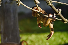 Schweinsaffe (Michael Döring) Tags: gelsenkirchen bismarck zoomerlebniswelt zoo goldeneroktober schweinsaffe makake afs200500mm56e d7200 michaeladöring