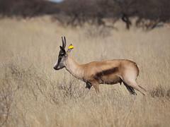 P9270285 Copper Springbok (Joanna P Dale) Tags: marricksafari olympus omdem1 35mmmacro 35mmzuiko