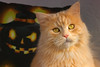 I sense a strange presence .... (FocusPocus Photography) Tags: linus katze kater cat chat gato tier haustier pet halloween kürbis pumpkin jahreszeit season animal