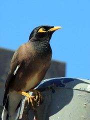 Myna (markb120) Tags: myna minah starling bird fowl flyer flier plumage feathering feather coverts coat dress beak bill pecker rostrum neb nib eye head animal fauna israel