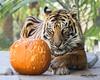 Delta (ToddLahman) Tags: delta sandiegozoosafaripark safaripark sumatrantiger matriarch female beautiful pumpkin escondido eyelock tiger tigers tigertrail exhibitb outdoors portrait