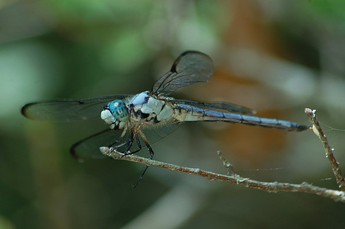 Great Blue Skimmer (Libellula vibrans) 2017-07-21 (7)