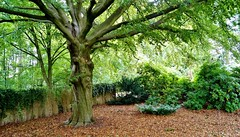 Friendly-Tree is watching its garden (farmspeedracer) Tags: september herbst autumn fall tree park forest leaf foliage leaves green scenery isolation time