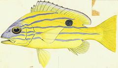 Anglų lietuvių žodynas. Žodis lutjanidae reiškia <li>lutjanidae</li> lietuviškai.