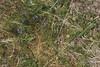 Milkwort. Tormentil. Ben Hope. West Sutherland (Mary Gillham Archive Project) Tags: 42151 benhope milkwort nc4649 planttree polygala potentillaerecta scotland tormentil unitedkingdom gb
