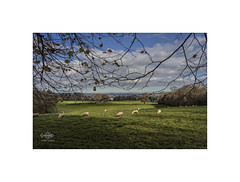 Antony Estate (silver/halide) Tags: antony antonyestate torpoint cornwall johnbaker landscape trees nationaltrust sheep grazing pastoral autumn fall