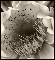 Cactus Flower #2 2017; Deland (hamsiksa) Tags: plants flora vegetation flowers blossoms blooms botany botanical botanicalphotography cactaceae cactus blackwhite monochrome desertplants succulents xerophytes