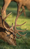 Studley #2 (G&R) Tags: studley royal deer park ripon north yorkshire canon 7d2 sigma 150 600 rut rutting