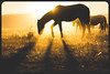 wild horse sunset9 (Jami Bollschweiler Photography) Tags: wild horse onaqui herd utah wildlife colt filly teeth youngster child west desert great basin sunset sage silhouette purple orange