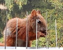 """01.10.2017 (flixx-ak) Tags: flixxakoffenbachammainhessen deutschland germany """"anvormeinemfenster"""" eichhörnchen squirrel 2017 img20171001085336 denkwürdigertagmitfolgen explore"""