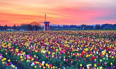 Tulips wallpapers by Vy Kiet (intervodoi) Tags: tulips telasm twalls nguyenthaivykiet takumar55mmf18