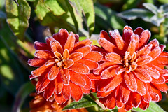 Frosty Morning Flowers (thatSandygirl) Tags: bright frosty cold orange sun light frost white garden floral flowers blossom bloom fall autumn october morninglight