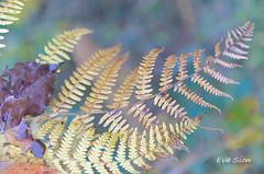 Hojas de otoño (Eva Sion) Tags: aragón españa huesca pirineos spain landscape paisaje hojas plantas nature naturaleza otoño fall