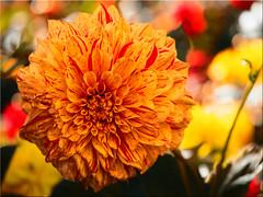 Autumn beauty (Ostseetroll) Tags: deu deutschland geo:lat=5407422967 geo:lon=1077895902 geotagged hansapark schleswigholstein sierksdorf dahlie dahlia makroaufnahme macroshot herbst autumn