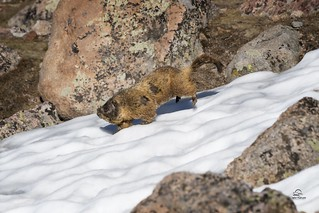 Yellow Bellied Marmot in Action