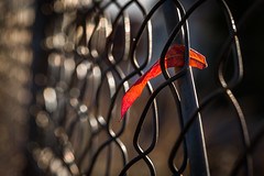 don't look back... (auntneecey) Tags: leaf fence bokeh bokehlicious autumn odc chooseacolor 365the2017edition 3652017 day306365 2nov17