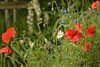 Meadow flower patch (jintysworld) Tags: summer garden plants flowers cornflowers marguerite poppies meadowflowers