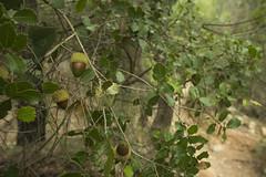 bellota1 (joanferroy) Tags: naturaleza bosque bosc woods mushroom seta bolet nature naturalesa catalunya bellota acorn