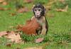 barbary macaque Apenheul BB2A9381 (j.a.kok) Tags: macaque barbarymacaque barbarymonkey macacasylvanus berberaap animal aap apenheul mammal zoogdier dier afrika africa macaca herfstkleuren autumncolors babymacaque