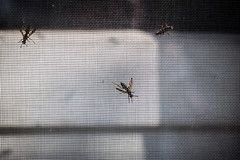 Wasps (Phil Roeder) Tags: iowa baldwin jacksoncounty wasp insect screen canon6d canon50mmf18