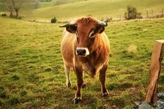.... (elenas_1) Tags: aubrac aveyron france sudouest vache veau animal agriculture pelouse champ paysage bétail arbre