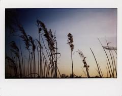 Tule no.5 (Italian Film Photography) Tags: nature landscape tule sunset tramonto natura paesaggio instant istantanea instax wide fujifilm analogue film pellicola analogica