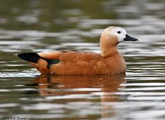 Le Tadorne casarca (Tadorna ferruginea) (jean-lucfoucret) Tags: animal animalia aves étang plumage roux nikon d500 nikkor 200500 tadorne casarca duck