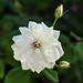 A  white rose in my garden...
