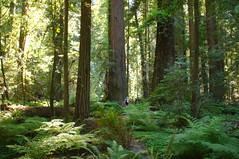 California Redwoods (Tjflex2) Tags: rockefellerloop avenueofthegiants humboldtredwoodsstatepark northerncalifornia redwoods giant