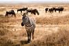 Homies of the Hood (Beppe Rijs) Tags: africa afrka tansania tanzania zebra gnu herde herd lakemagadi crater np ngorongoro ngorongoronp animal animals wildlife wildlifeafrica paradise