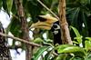 Oriental-pied Hornbill Anthracoceros albirostris convexus (hayastanlover) Tags: maleisië malaysia