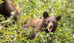 Hungry Bear (Rick Derevan) Tags: bear wildlife grandtetons mammal grandtetonnationalpark animals blackbear huckleberries wilderness huckleberry