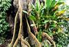"""FRA LE RADICI DI UN ALBERO """"FROMAGIER"""".   ----    FLOWERS AMONG ROOTS OF A TREES """"FORMAGIER"""" (Ezio Donati is ) Tags: natura nature albero tree fiori flowers pericolo danger africa costadavorio parcoforestadubanco"""