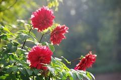 Dahlien im Oktober (ღ eulenbilder - berti ღ) Tags: herbst 2017 naturbilder dahlien blüten