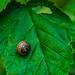 Snail on green leaf