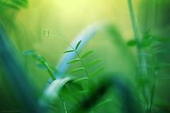 Lilliputian jungle - Jungles lilliputiennes (Philippe Meisburger Photo) Tags: miniature jungle lush luxuriant green vert nature leaf feuille blade brin herbe grass carex sedge bokeh flou blur petite camargue alsacienne feuilles leaves summer été saintlouis hautrhin alsace grand est france europe philippe meisburger 2015 seggen