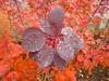 naß (Jörg Paul Kaspari) Tags: trier trierwest bobinet bobinetquartier herbst autumn fall herbstfärbung cotinus´royalpurple´rotlaubigerperückenstrauchautumn color rot red rouge vorplatz scharlachrot nas feucht blatt blätter leaf leaves