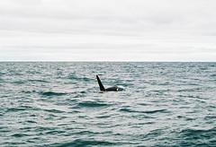 Orca (DawnChapman) Tags: 35mm analog film fuji fujifilm fujicolorsuperia200 superia200 newzealand ocean orca sea killerwhale kaikoura
