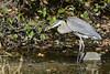 SARDINE FOR LUNCH (Bill Vrtar Photo) Tags: blueheron heron lilypond millcreekpark