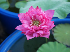 Nelumbo nucifera 'Welch' Lotus Wahgarden Thailand 4 (Klong15 Waterlily) Tags: welch lotus flower lotusflower landscape thailotus thailandlotus wahgarden lotusseeds