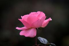 Manoir du Vaumadeuc (Oric1) Tags: 22 canon côtesdarmor france jeanlucmolle manoir oric1 pléven vaumadeuc armorique breizh bretagne brittany eos rose pink flower fleur roseraie