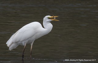 Great White Egret- Chew Valley Lake