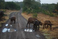 DSC_0033 (graceesimp) Tags: olpejeta capebuffalo buffalo