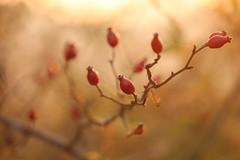 (SimonaPolp) Tags: rosehip berries berry food fall october foliage autumn nature bokeh sunset light sun red