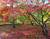 Acer glade (vietnamvera) Tags: westonbirtarboretum autumncolour autumn autumnleaves trees acers acerleaves