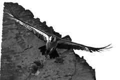 Halloween (carlo612001) Tags: halloween fear birds raptors griffon vulture black white bw bianco e nero blackandwhite nature