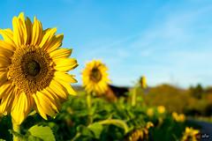 Sonnenblumen im Herbst
